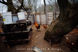 Free Range chickens in coop